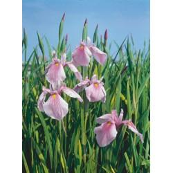 Iris Laevigata Rose Queen P9