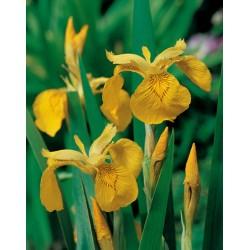 Iris Pseudacorus Pan18