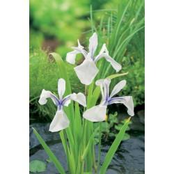 Iris Laevigata Snowdrift P9