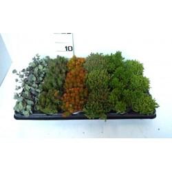 Sedum montanum tfe-p9