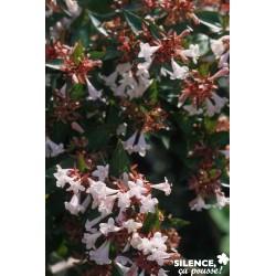 ABELIA grandiflora...