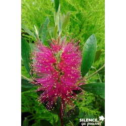CALLISTEMON viminalis Hot...