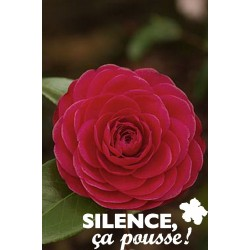 CAMELLIA rose C4.5L