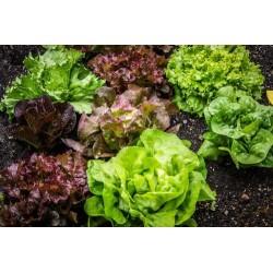 Salade Laitue Sucrine...