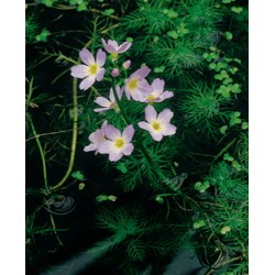 Hottonia Palustris P18