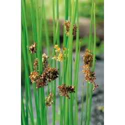 Juncus Effusus H35-P9