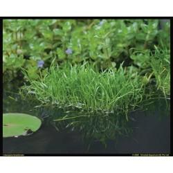 Lilaeopsis Brasiliensis P18