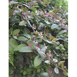 Lonicera japonica chinensis...