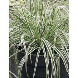 Carex 'everest' c2l