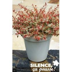 Abelia grandiflora tricolor...