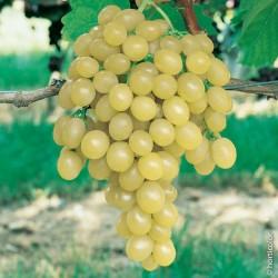 Vigne italia 125/150+-c5l