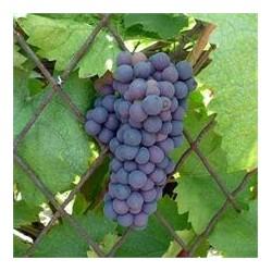Vigne americana isabella...