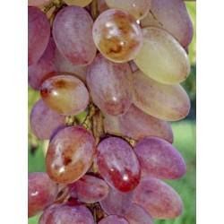 Vigne miss pink 125/150+-c5l